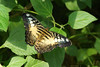 Clipper butterfly (Darea62) Tags: parthenossylvia clipper butterfly insect animal nature wings leaves wildlife tropical farfalla