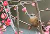 Carolina Wren (ALF Papa (Mark)) Tags: flower quince pink hiding loud song