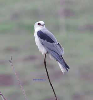 White-tailed Kite looking for breakfast
