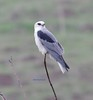 White-tailed Kite looking for breakfast (Scott Severn) Tags: ebparksok whitetailed kite
