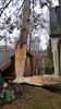 Pinus failure (arborist.ch) Tags: treecare tree treeclimbing baumpflege baum baumklettern pinus