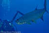 Tarpon Photo shoot (mbfirefly) Tags: macro scuba underwater diving cayman ci uw