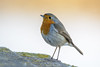 Petirrojo (Tito Garcia Niño) Tags: barcelona catalunya espaisnaturalsdelriu españa petirrojo animales animals aves birds deltadelllobregat naturaleza nature reservanatural