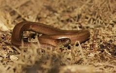 Slow Worm (farrertracy) Tags: anguisfragilis slowworm dorset winter spring heathland lizard reptile