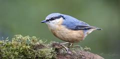 Nuthatch... (Catherine Cochrane) Tags: bird birdwatcher nuthatch ayrshire uk wildlife nature light bokeh