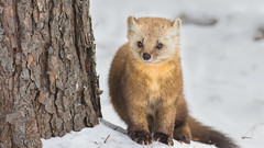 This little Pine Marten reminded me of a little Old Man (Jeff Manser) Tags: pine marten snow winter
