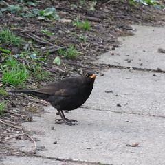Blackbird (EMStanton) Tags: blackbird thrush songbird british bird britishbird