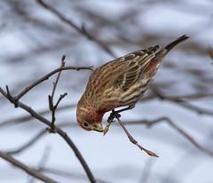 almost... (Barbara A. White) Tags: purplefinch bird wildlife fletcherwildlifegardens ottawa february buds