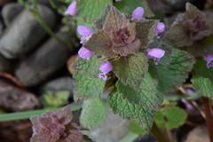 Purple Deadnettle 01 (Vincent Ferguson) Tags: grass yard macro red micro nature deadnettle botanical flower purple nettle tiny waterdrop weed