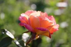 Mon Amie la Rose 🌹 (Callie-02) Tags: plante pétales profondeurdechamp bokeh macro canon couleurs lumière automne extérieur jardin rosée rose fleur