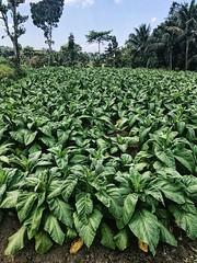 GreenGrass (Léna Frau) Tags: lambok indonesia nature green field tabac