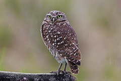 Burrowing Owl / Chevêche des terriers (shimmer5641) Tags: athenecunicularia burrowingowl chevêchedesterriers owl birdsofbritishcolumbia birdsofnorthamerica