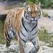 Siberian tigress walking in the water