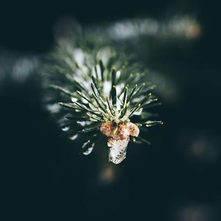 Fresh Frozen Pine
