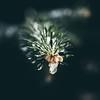 Fresh Frozen Pine (Nicholas Erwin) Tags: pine ice frozen froze cold pineneedles nature naturephotography natural bokeh dof depthoffield contrast winter freezing freeze tree pinetree squareformat square squarecrop nikon d610 2018g nikkor waterbury vermont vt unitedstatesofamerica usa america macro closeup fav10 fav25