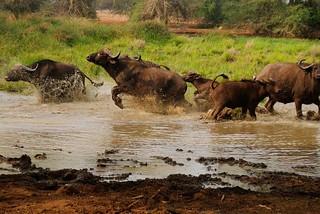 Zimbabwe Cape Buffalo Hunt 86