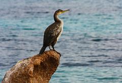 IMG_6557-1-2 (Andre56154) Tags: bird ocean meer tier animal italien italy italia sardinien sardegna sardinia