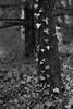 ivy, treek trunks, bark, Asheville, NC, Nikon D3300, mamiya sekor 80mm f-2.8, 3.1.18 (steve aimone) Tags: ivy trees bark trunk conifers asheville northcarolina nikond3300 mamiyasekor80mmf28 mamiyaprime primelens blackandwhite monochrome monochromatic landscape visualrhythm