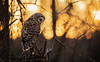Waiting on the Night... (DTT67) Tags: barredowl wildlife nature sundown sunset canon 1dxmkii 500mm 2xtciii owl