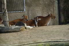 Chester Zoo Islands (509) (rs1979) Tags: chesterzoo zoo chester islands banteng lazyriver lazyriverboatride