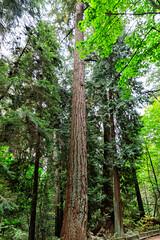 171011_103635_AB_1613 (aud.watson) Tags: canada westvancouver seatoskyhwy route99 pointatkinson horseshoebay burrardinlet lighthousepark beaconlane pointatkinsonlighthouse built1871 westernhemlock tsugaheterophylla douglasfir pseudotsugamenziesii westernredcedar thujaplicata britishcolumbia temperaterainforest coast coastline forest wood tree trees gymnosperms conifer conifers pine pines spruce oldgrowthforest trunk ca