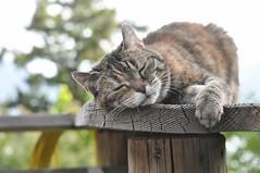Sleepy Razzle (Tynan Phillips) Tags: nature nikon nikond90 d90 dslr denmanisland bc britishcolumbia canada canadian animals animal cat cats feline pet pets cute sleep sleepy