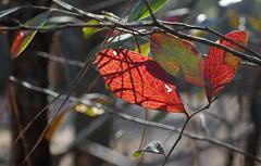 Red leaves, lines, veins and shadows in the Winter sun (Monceau) Tags: red leaves shadows lines twigs bokeh macro stjosephabbey stbenedict louisiana backlit backlitcloseup closeup smileonsaturday veins