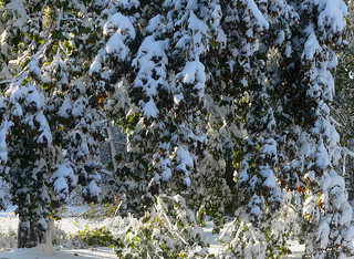 Snow Laden Trees - In Explore