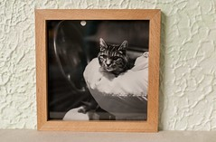 pennythecat print in beech frame (btyreman) Tags: beech quartersawn quartersawnbeech cat animal print dcscolourlabs fineartpaper frame pictureframe solidwood rayfleck dovetailsplines mitre joinery photolab tungoil turps puretungoil shellac rebate mono photography craft handmade bespoke square 8x8 woodwork woodworking 45degrees dovetail spline splines joint framed boxframe hahnemühle photorag308 cottonpaper hahnemühlephotorag308 ze carlzeiss planart1450 50mm fullframe canon eos5d 5dclassic eos 5d handtools handtool planar5014ze