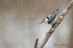 Downward facing Nuthatch (dbifulco) Tags: nature wbnu bird branch cold lichen newjersey snow whitebreastednuthatch wildlife winter