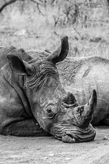 White Rhino - Kruger National Park (BenSMontgomery) Tags: white rhino kruger national park rhinoceros black south africa wildlife safari sanpark