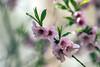 IMG_5724 Spring Blossoms (suebmtl) Tags: pink blossoms spring canada ontario longpointprovincialpark floweringshrub shrub flowering bokeh