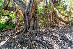 Moreton Bay Fig (ficus macrophylla) on the Treachery Headland (dean.white) Tags: australia au newsouthwales nsw greatlakes myallcoast sealrocks treacherycamp treacheryheadland thedorsaltrack moretonbayfig tree canoneos6d canonef24105mmf4lisusm