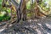 Moreton Bay Fig on Treachery Headland (deenoz) Tags: australia au newsouthwales nsw greatlakes myallcoast sealrocks treacherycamp treacheryheadland thedorsaltrack moretonbayfig tree canoneos6d canonef24105mmf4lisusm