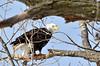 Checking us out. (jc-pics) Tags: nikon d7000 sigma 150500mm bald eagle nature wildlife