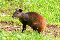 Agouti ou agouti doré (alain_did) Tags: dasyproctaleporina agouti rongeur faune amazonie amazonia amériquedusud guyane nature naturelover naturallight