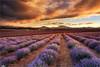 Soothe My Soul (Darkelf Photography) Tags: bridestowe lavender estate farm rural fields sunset dusk evening clouds flora nature travel landscape tasmania australia summer canon nisi 1635mm 5div maciek gornisiewicz darkelf photography soothemysoul 2018