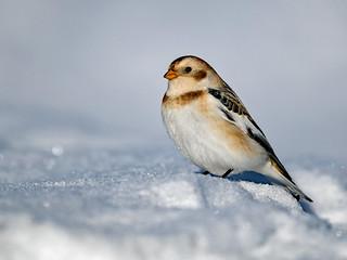 Snow Bunting (Plectrophenax nivalis)