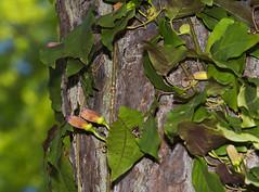 Crossvine Bignonia capreolata_2311 (Alice & Seig) Tags: va williamsburgarea plants scrophulariales asteridae trumpetcreeperbignoniaceae vanative orange yellow flickr williamsburg virginia unitedstates