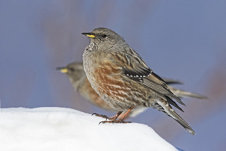 Sordone - Alpine accentor
