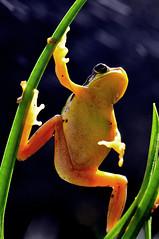 CSC8603 (jakeiwang5457) Tags: animal nature taiwan taipei frog nikon