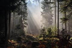 Lumière dans la brume matinale de forêt (Excalibur67) Tags: nikon d750 sigma globalvision 24105f4dgoshsma paysage landscape vosgesdunord nature brume mist forest foréts arbres trees rayons soleil sousbois