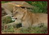 FEMALE LIONESS (Panthera leo)....MASAI MARA......OCT 2012 (M Z Malik) Tags: nikon d3x 200400mm14afs kenya africa safari wildlife masaimara keekoroklodge exoticafricanwildlife exoticafricancats flickrbigcats leo lioness ngc