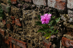 The Perks of Being a Wallflower (cloud721.jpg) Tags: taxco mexico alarcon guerrero nature flowers wallflower pink brick rustic travel colonial study abroad unam cepe views alley ceramic clay pots sunny rainy silver city town
