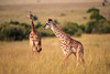 Stick your neck out (cdx_cdx) Tags: africa canoneos1dxmarkii kenya safari babygiraffe animals giraffe canonef500mmf4lisii telephoto masaimara