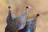 Triple (Thomas Retterath) Tags: safari natur nature kenya africa afrika tsavowest thomasretterath adventure wildlife abenteuer geierperlhuhn perlhuhn vögel bird birds vogel animals tiere vulturineguineafowl