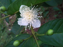 171228 (4) (sepstea) Tags: white green flower guava nature photography close closeup macro