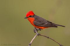 Vermilion Flycatcher (Matt Shellenberg) Tags: bird vermilion flycatcher vermilionflycatcher arizona tucson desert southwest red