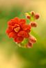 Orange Kalanchoe (pstenzel71) Tags: blumen natur pflanzen kalanchoe flower bokeh samsungnx darktable