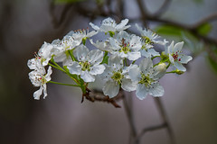 Spring Is Springing - 022318-130748 (Glenn Anderson.) Tags: flowers cluster bradfordpair nature spring pollin petal stigma style pistil anther filament waynesborough park insect antenn